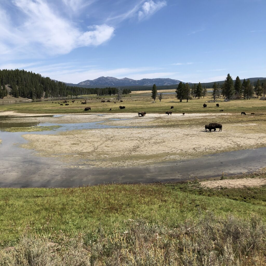 best places to see bison in yellowstone